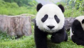 Specie animali, quali sono le cinque in via di estinzione